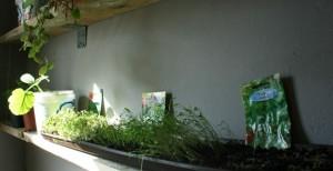 Portulak stellt sich quer, und will als einzige - was ist das? Pflanze? Gemüse? Salat? - nicht richtig wachsen.